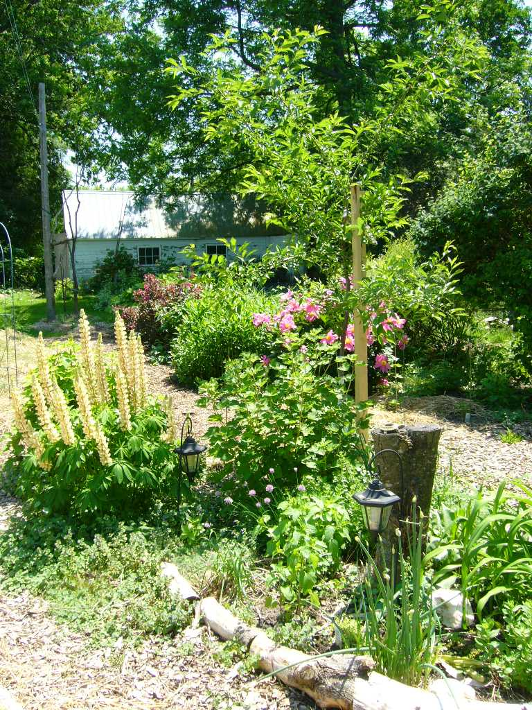plant guild: plum tree, currants, lupine and herbs for tea and salad