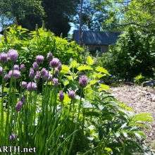chives, catnip, silverweed and lupin, with currant bush and plum tree in background
