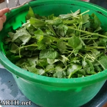 garlic mustard harvest
