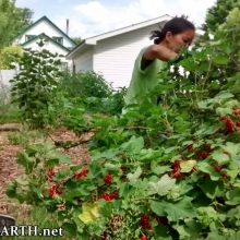 harvesting red currants